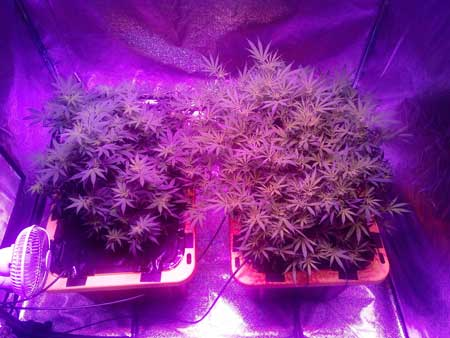 Cannabis plants growing under Kind XL 1000W LED grow light - 2 weeks into the flowering stage