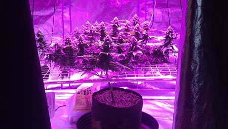 One plant with many colas thanks to LST training (under LED grow light)