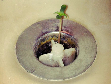 Cannabis seedling growing from a sink drain