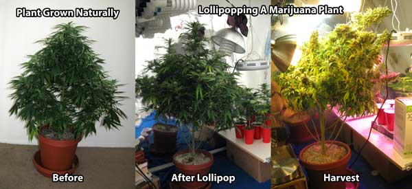 Example of lollipopping a marijuana plant so you can see the difference between this and main-lining