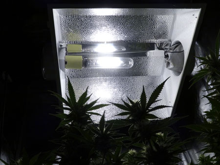 Example of a cannabis plant while looking up at an HID grow light. By reducing the number of hours your plants get light each day, you will speed up the maturing process