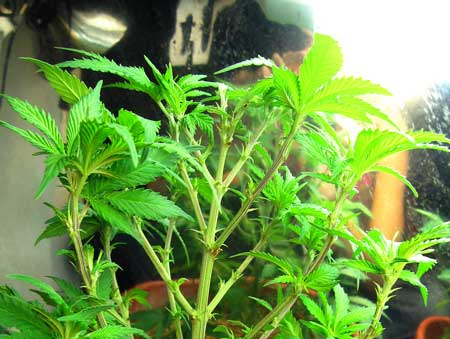 "New colas emerge from growth tips - this plant was plucked so you could see the ""skeleton"" underneath the leaves"