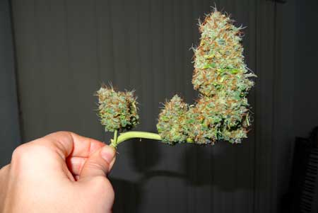 LST stem harvested from the Sour Diesel auto-flowering cannabis plant