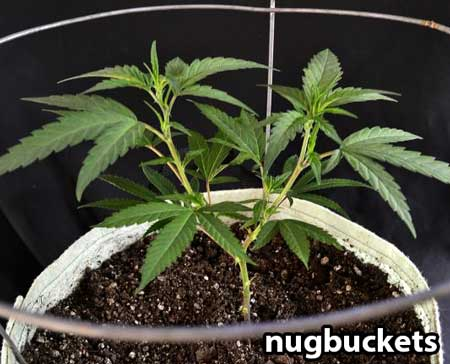 Marijuana clone - in the process of being main-lined
