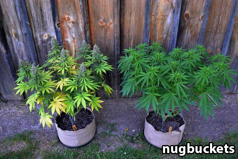 main lining tutorial by nugbuckets train marijuana plants for bigger yields flat canopies. Black Bedroom Furniture Sets. Home Design Ideas