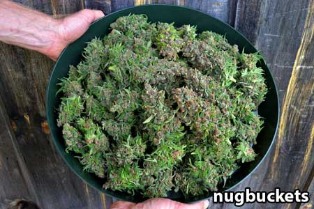 Nugbuckets shows off his main-lining harvest bowl!