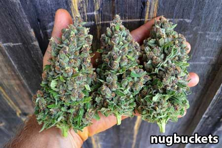 Huge thick cannabis flowers - natural foxtails due to the genetics