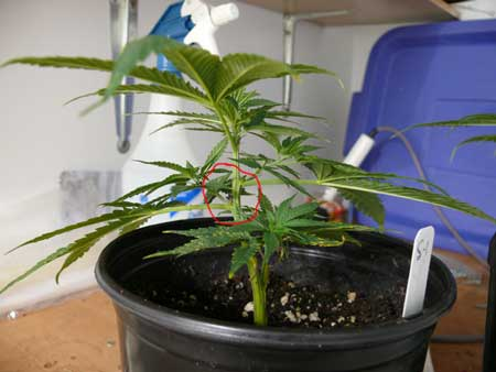 This clone is growing with non-symmetrical nodes, but she still can be main-lined