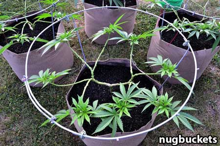 Main-lined marijuana plant pruned for 16 colas - Nugbuckets