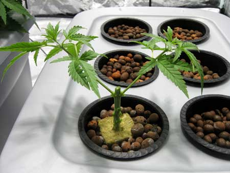 This plant has been topped to the 3rd node, and all growth below the 3rd node was removed - Main-lining tutorial