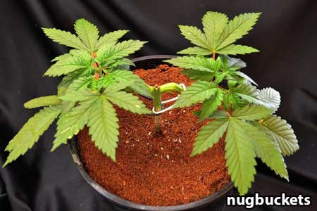 That seedling from the top / side - Nugbuckets main-lining tutorial