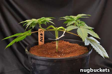 Marijuana seedlings gets stride back - Nugbuckets main-lining tutorial