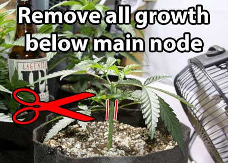 Remove all growth below the main node - Mainlining