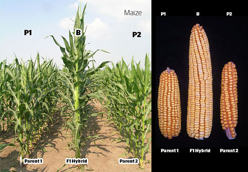 Diagram - F1 hybrid of corn