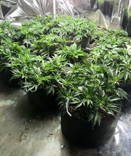 "Example of growing many small cannabis plants instead of just a few bigger ones (known as the ""Sea of Green"" training method)"