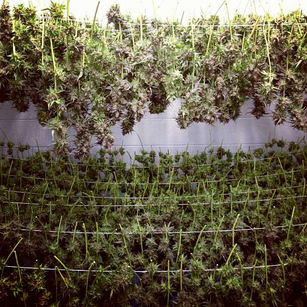 A lovely hang-drying setup. & 5 Secrets to Growing Top-Shelf Bud | Grow Weed Easy