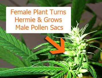 Female marijuana plant turns hermie and grows balls