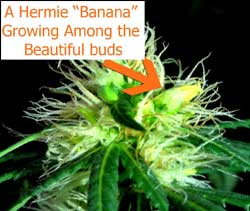 "Marijuana hermie growing a yellow ""banana"""