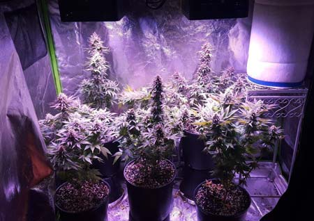 Example of several marijuana plants that are growing under two 300W ViparSpectra lights