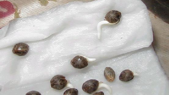 Cannabis seeds germinating