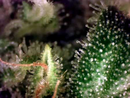 An extreme closeup of cannabis in the flowering stage so you can see the glandular stalked trichomes
