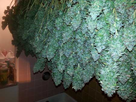 Drying your cannabis buds can be a beautiful sight to behold!