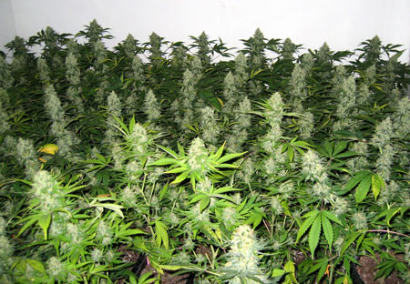 An example of huge buds growing thanks to being exposed to direct light