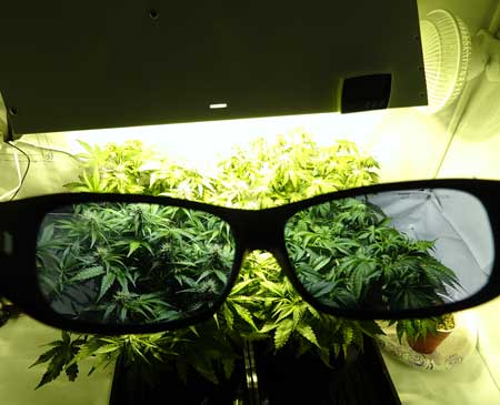 A view of the Method 7 Made-for-HPS glasses, which show plants in true color under the harsh yellow light of an HPS!