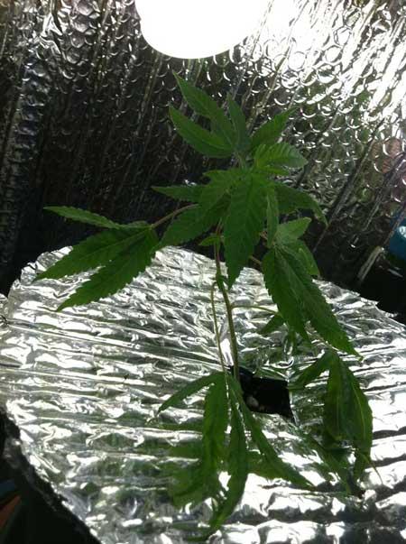 Marijuana microgrow - day 1 - just cloned - Vegetative Stage