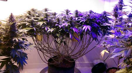 An example of a cannabis plant that has been monstercropped