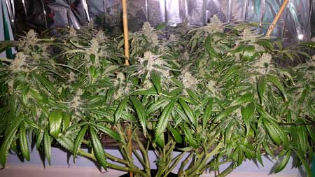 Example of that monstercropped cannabis clone at harvest!