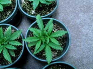 Young, healthy marijuana plants (White Rhino strain)
