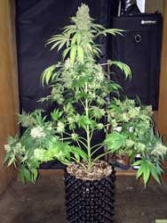 This Marijuana Plant was allowed to grow tall and untrained - notice how only one cola  has grow thick, because it was the closest to the grow lights