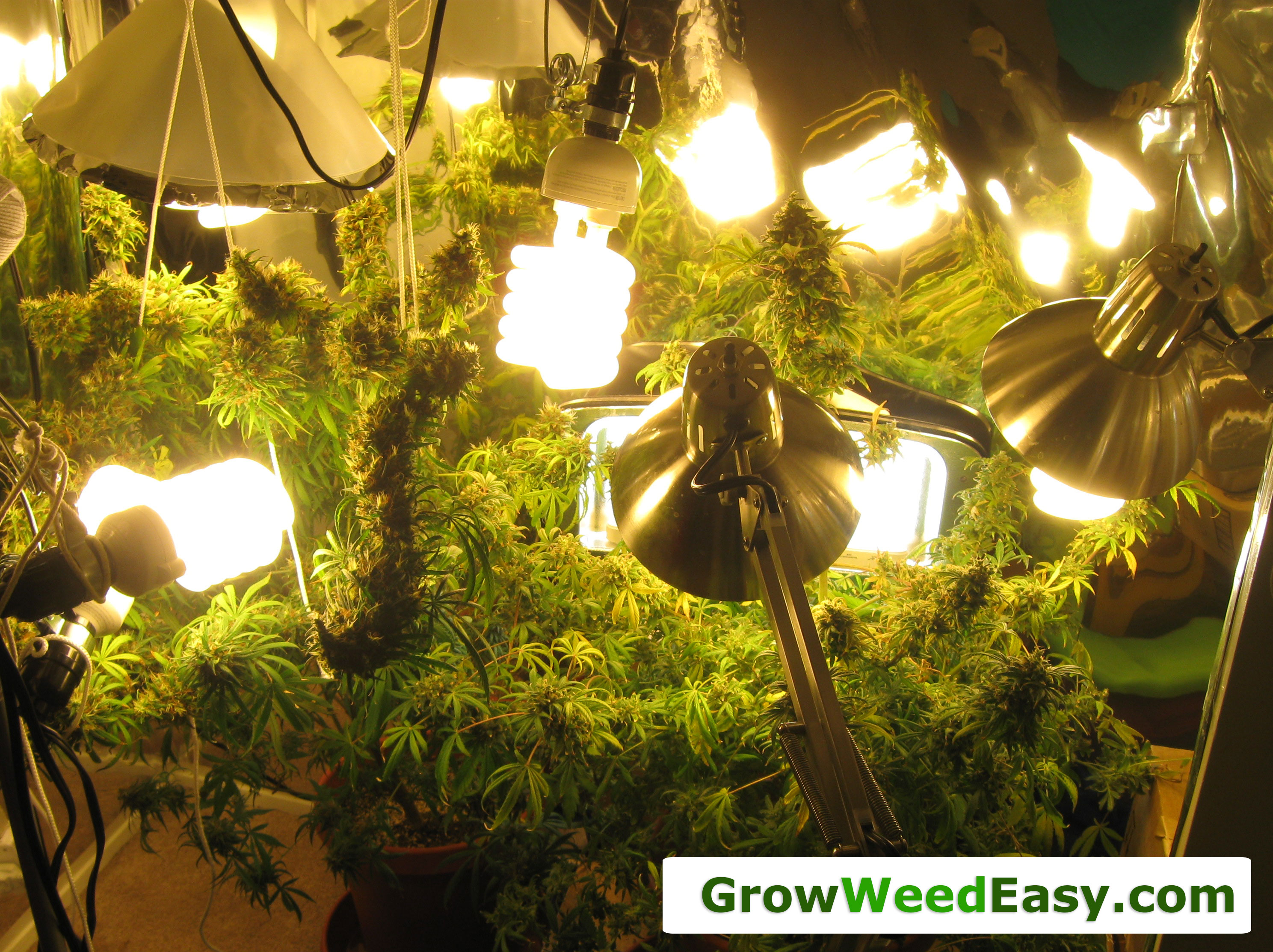 Grow Cannabis Guide w/ CFL Grow Lights  How to Grow Marijuana  Grow