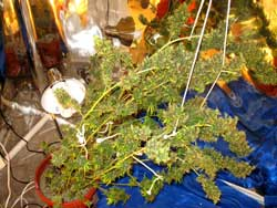 Medical marijuana plant falling over from buds
