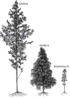 Sativa vs Indica vs Ruderalis - Strains and Varieties of Marijuana