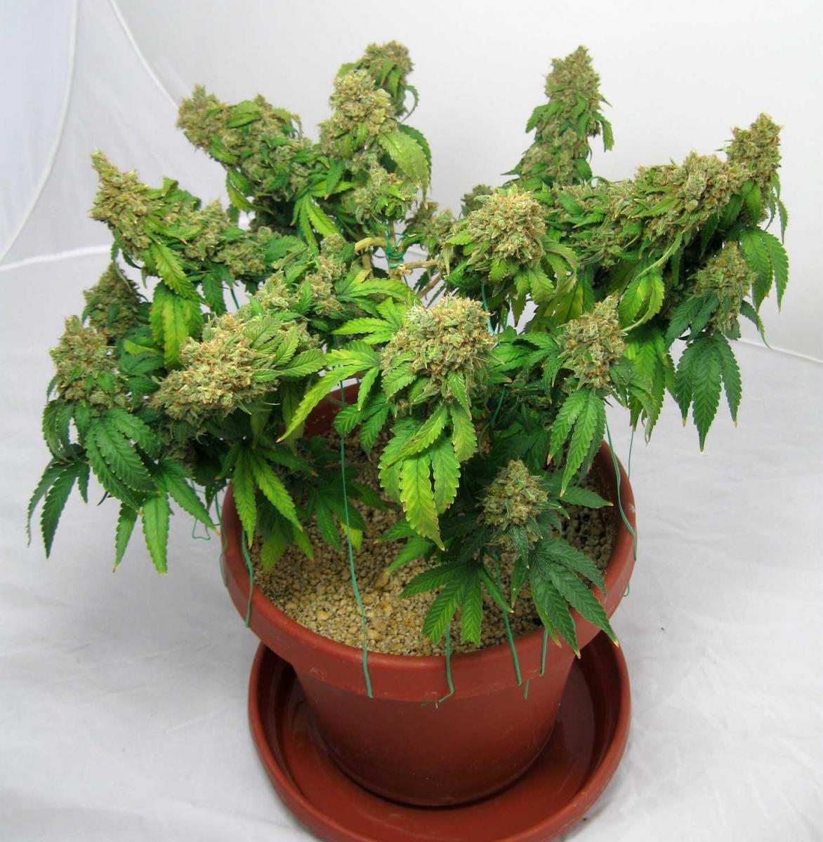 Super Cropping Marijuana Simple Secret To Bigger Yields Grow Weed Easy