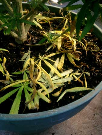 Cannabis nitrogen deficiency - yellow leaves are piling at the bottom of the plant