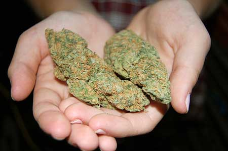 Cannabis nugs in hands