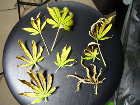 More unhappy leaves...
