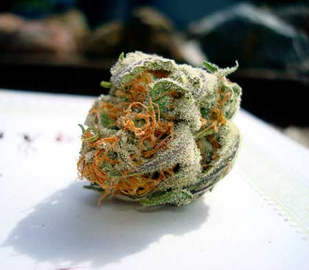 This gorgeous cannabis nug has orange hairs