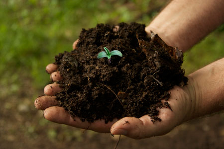 Young cannabis seedling growing in rich soil in a person's hands
