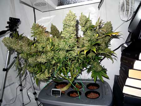 Original Amnesia cannabis plant grown in DWC