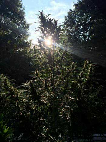 Sativa leaning cannabis plants love growing outdoors with unlimited space!