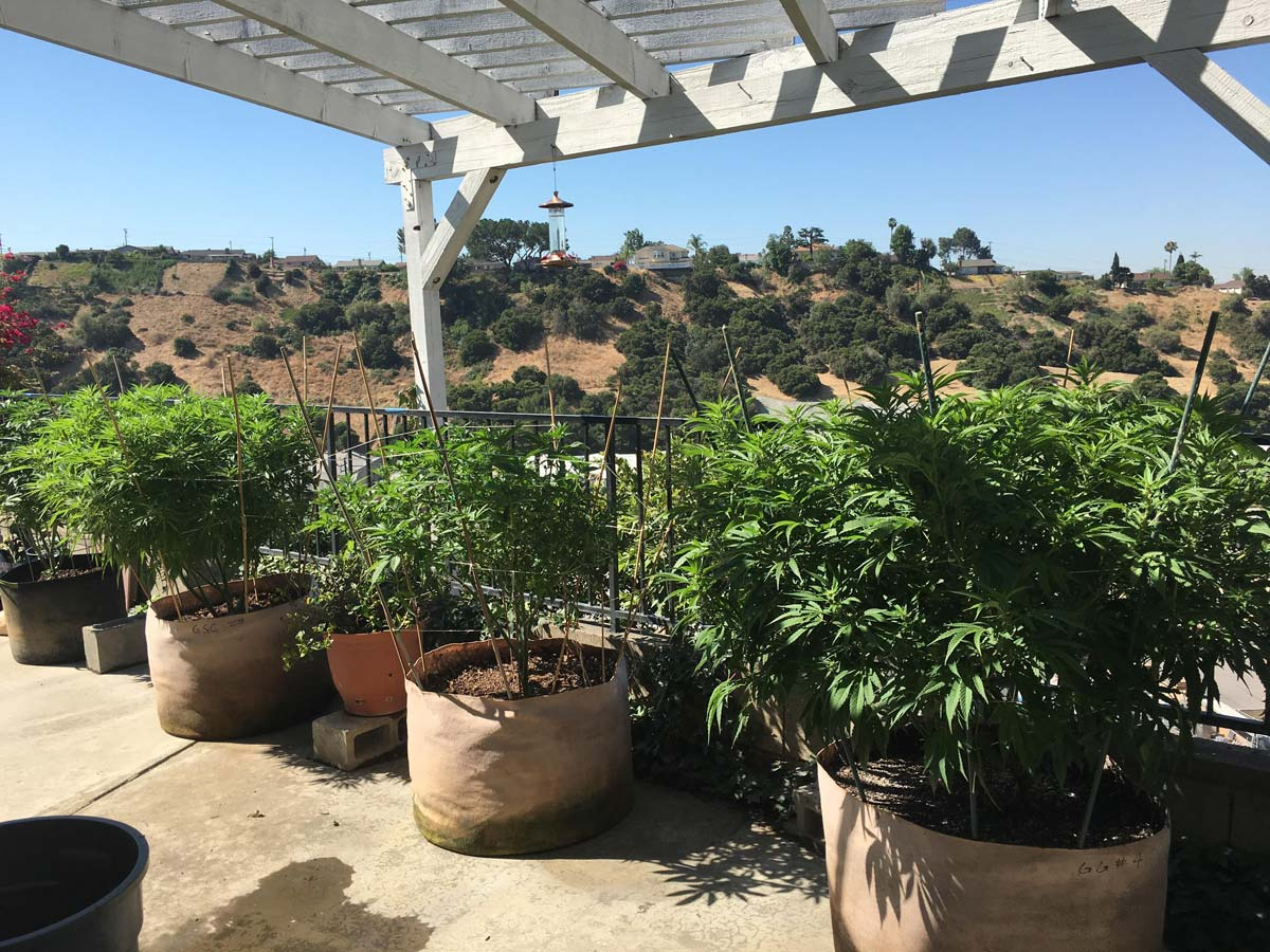 Stealth ideas for growing marijuana in your yard or for Easy to grow outdoor plants