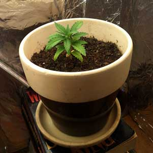 Overpotted young cannabis plant - this container is too big for this seedling!