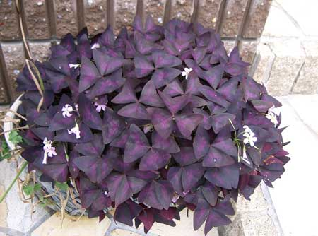 Purple shamrock plants have purple leaves