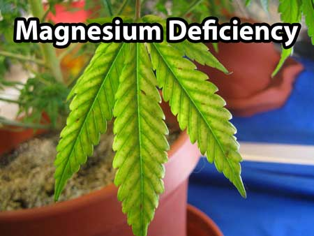 Cannabis magnesium defiency - Pale coloring of leaves between the margins, light brown spotting, and tips may turn brown or red and die, somwhat similar to nutrient burn
