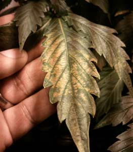 This cannabis shows tan pale spotting on the leaves in a pattern that is unique to pH fluctuations - most often found in hydro, but sometimes in soil