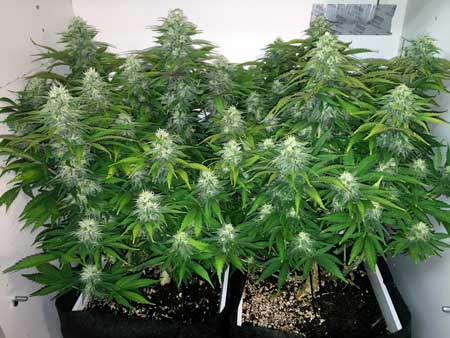 Example of a grow box that's full of Papaya cannabis plants with fat buds!
